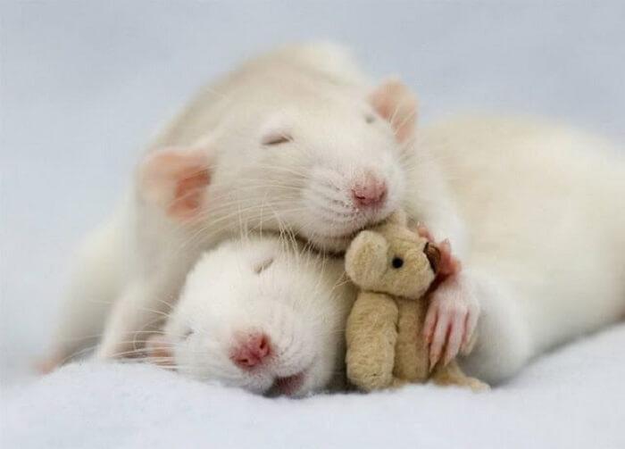 Mơ thấy chuột nằm trong nhà