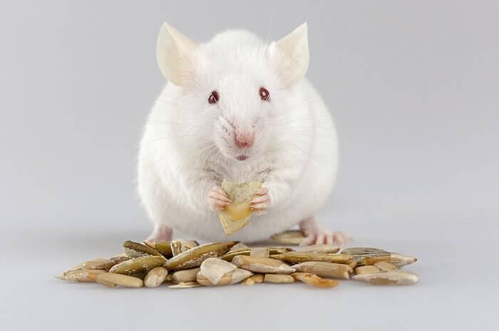 Mơ thấy chuột bạch có liên quan đến hôn nhân và tình yêu